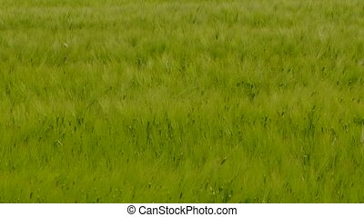 Young Wheat Field Touched By The Wind - The frame is full of...