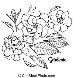 Graphic gardenia set isolated on white background. Vector...