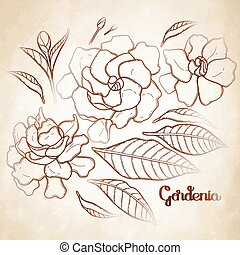 Graphic gardenia set isolated on aged texture. Vector floral...