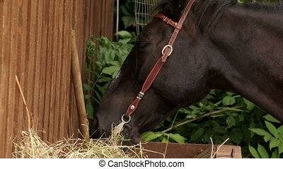 Horse chewing hay. - Horse head with harness chewing hay.