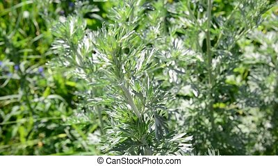 Wormwood in meadow in summer - Wormwood in the meadow in...