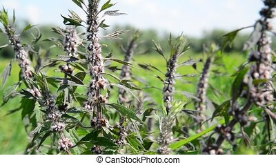 Leonurus cardiaca, known as motherwort, is herbaceous...