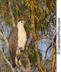White-Bellied Sea Eagle, Australia - White-Bellied Sea Eagle...