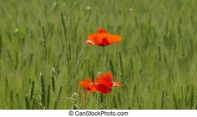 Wind Swaying Poppies In The Field - Bright, rich and...