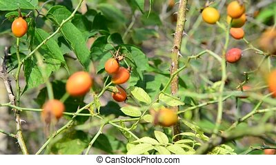 Orange wild rose berries on branch - Orange wild rose...