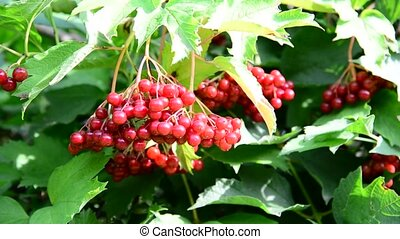 Red berries viburnum in summer - Red berries viburnum in the...