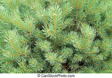 Closeup of pine tree branches