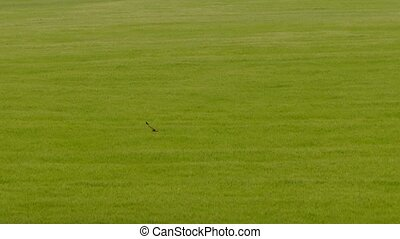 Wild Bird Flying Over Green Field - AERIAL VIEW. Wild bird...