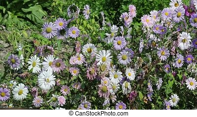 withered daisies and wind in the garden