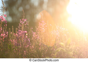 Willowherb at sunset - Wild blooming Willowherb at sunset -...