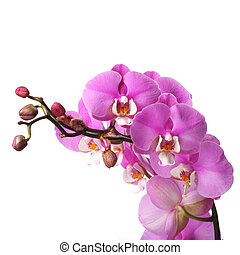 Pink streaked orchid flower isolated on white background