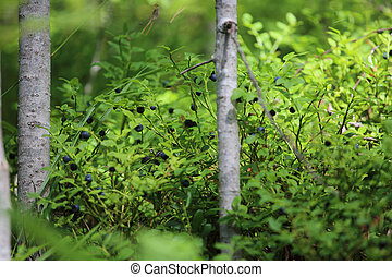 Little bush of ripe blueberry - Little wild bush of ripe...