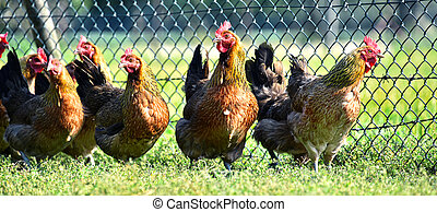 Chickens on traditional free range poultry farm.