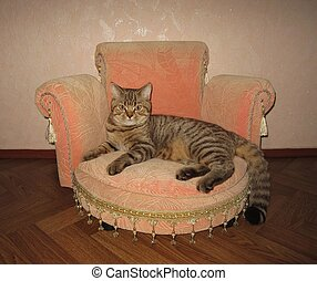 A cat on a sofa. - A serious and big scottish straight cat...