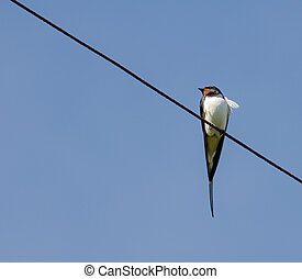 swallow - The lonely swallow has a rest on wires