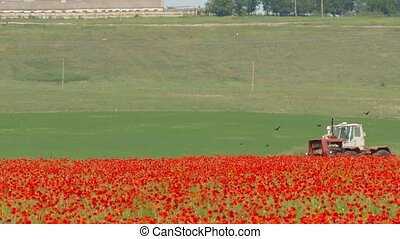 Tractor Cultivating Poppy Field - Side shot of a farm...