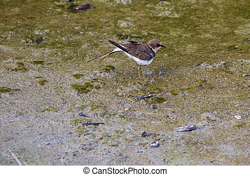 Little ringed plover (Charadrius dubius) in nature, Thailand