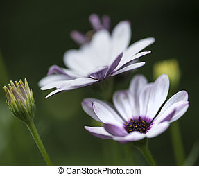 Lovely close up image of White Cape Daisy flower