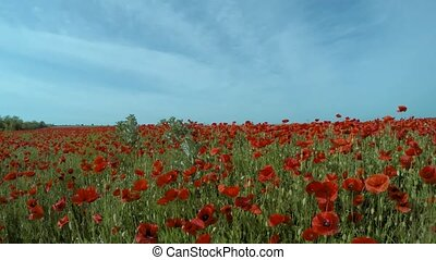 Walking Through Poppy Field - Walking thought the meadow...