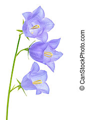 beautiful blooming bluebell flower is isolated on white...