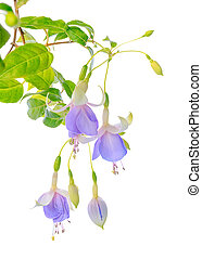 blooming beautiful twig hanging fuchsia flowers in shades of...