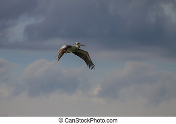 Spot-billed pelican Pelecanus philippensis in nature at...