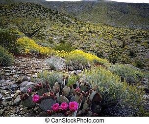 Blooming Desert, Anza-Borego, California