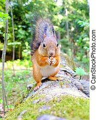 Happy cute squirrel eating a nut