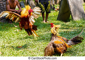 Philippine traditional cockfighting competition on green...