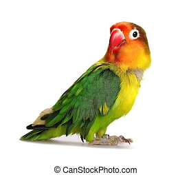 Lovebird isolated on white Agapornis fischeri, Fischer's...