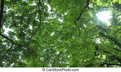 chestnut tree branches full of blooms and leaves. 4K -...
