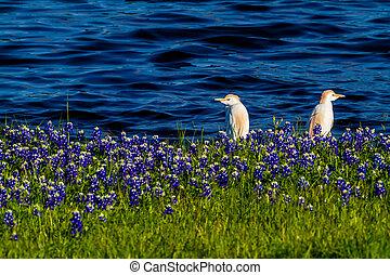 Egrets in Texas Bluebonnets - Cattle Egret (Bubulcus ibis)...