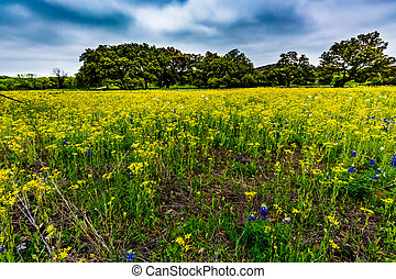 Yellow Texas Wildflowers - Various Texas Wildflowers,...