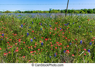 Various Texas Wildflowers - A Beautiful Field Blanketed with...