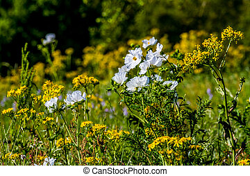 Yellow and White Texas WIldflowers. - A Mixture of Various...