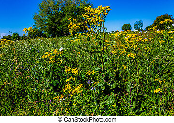Yellow and White Texas WIldflowers - A Mixture of Various...