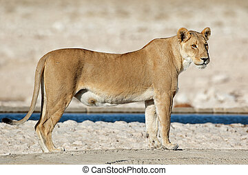Lioness at a waterhole - A lioness (Panthera leo) at a...
