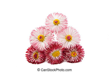 Daisy flower isolated on a white background