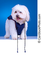 Bichon puppy with clothes standing against blue background
