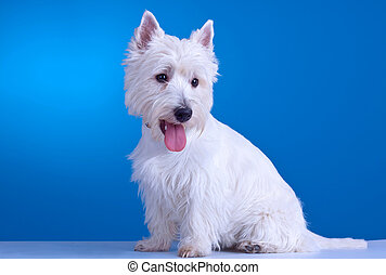 panting westie - small westie with mouth open on a blue...