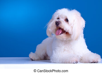 maltese dog lying in front of blue background, looking to a...