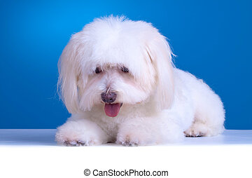 curious bichon - picture of a curious bichon against blue...