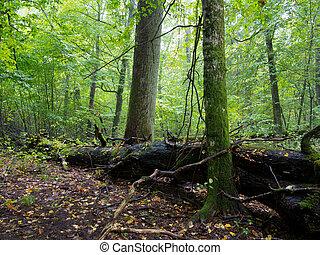 Old hornbeam trees and broken oak - Old hornbeam moss...