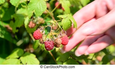 female hands collect raspberries in garden - female hands...