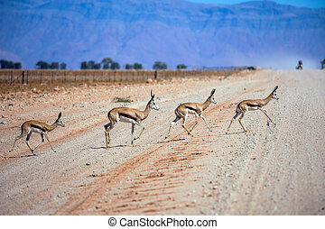 Herd of impala antelopes cross the road - Dirt road in the...