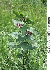 Milkweed Plant (Flowering) - A flowering Milkweed plant. The...