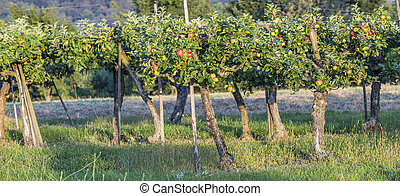 Red Apples Closeup, Tree Branch Detail - Red ripe Apples...