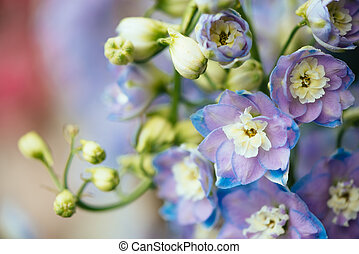 Ornamental plant Delphinium - Purple flowers of ornamental...