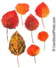pressed aspen leaves isolated