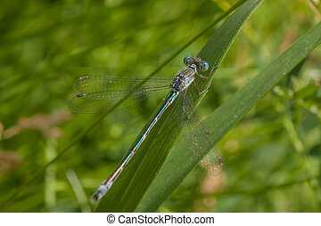 Teal Damselfly Macro - Macro of a blue and teal damselfly...